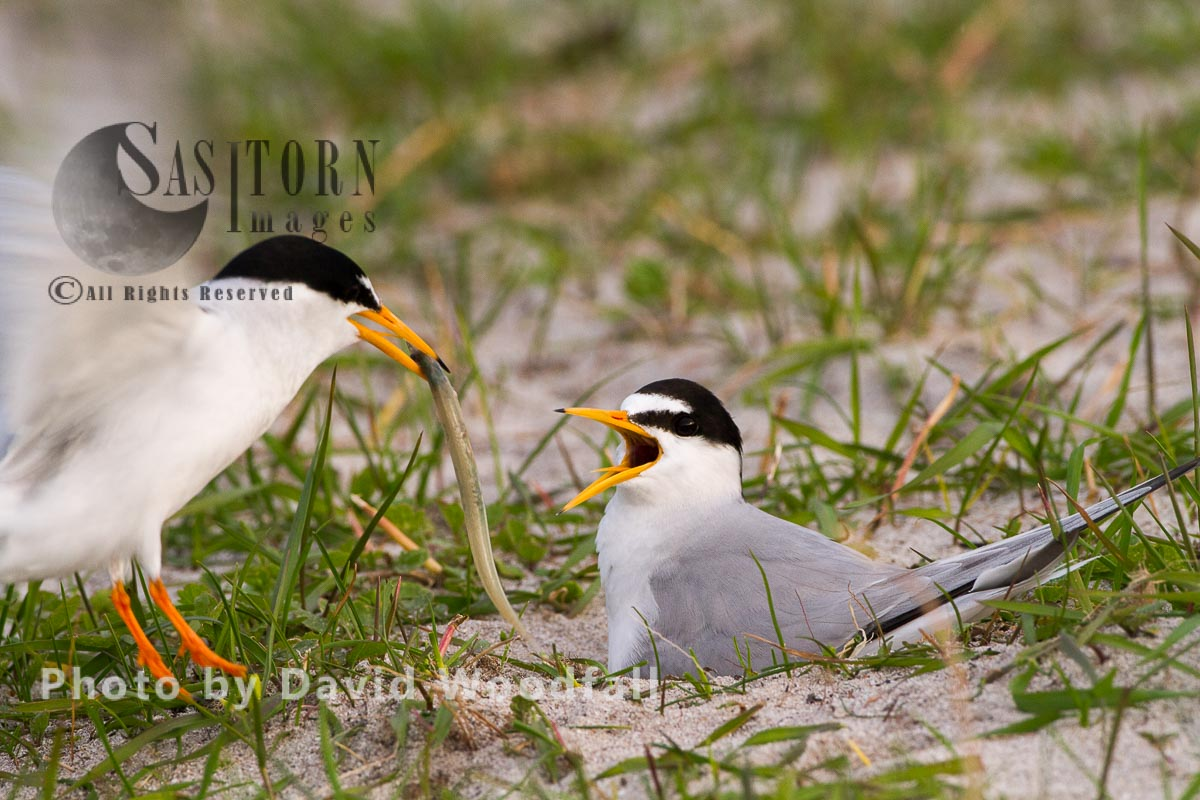 Adult Male Little Tern (Sterna Albifrons) Landing At Nest With Female Brooding, With Sand Eel For Their Chick, Berneray, North Uist