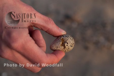 Damaged Little Tern (Sterna Albifrons) Egg From Natural Causes -sitting Bird, Held By Warden. Berneray, North Uist