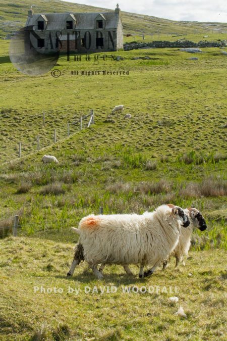 Cross Breed Sheep And Abandoned Croft On Machair , Decline Of Traditional Agriculture. Berneray, North Uist