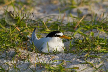 Little Tern (Sterna Albifrons) Brooding (sitting On Eggs), On Cultivated Machair, Berneray, North Uist