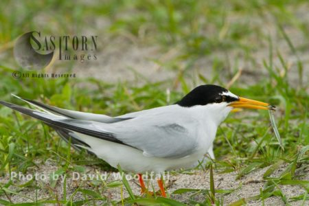 Little Tern (Sterna Albifrons) Male With Sand Eel, On Shell Rich Sands Machir, Berneray, North Uist