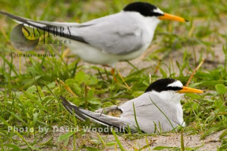 Little Terns (Sterna Albifrons) At Nest With Chick, Male With Female Brooding, Berneray, North Uist, Outer Hebrides