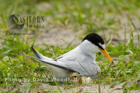 Little Terns (Sterna Albifrons) Female Brooding At Nest With Chick, On Shell Rich Sands Machair, Berneray, North Uist, Outer Hebrides, Scotland