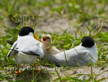 Little Terns (Sterna Albifrons) Male With Sand Eel For Chick, Female Brooding (sitting On Chick And Eggs), On Cultivated Machair, Berneray, North Uist