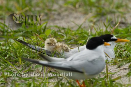 Little Terns (Sterna Albifrons) Male, Female And Chick At Nest, On Shell Rich Sands Machair,  Berneray, North Uist, Outer Hebrides, Scotland