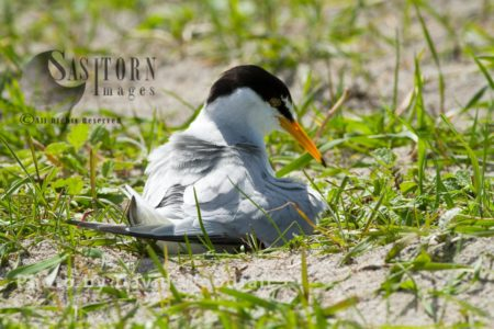 Little Tern (Sterna Albifrons) Female Brooding At Nest, On Shell Rich Sands Machair, Berneray, North Uist