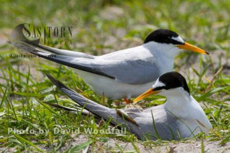 Little Terns (Sterna Albifrons) Male With Fish For Chick, Female Brooding (sitting On Chick And Eggs), On Cultivated Machair, Berneray, North Uist