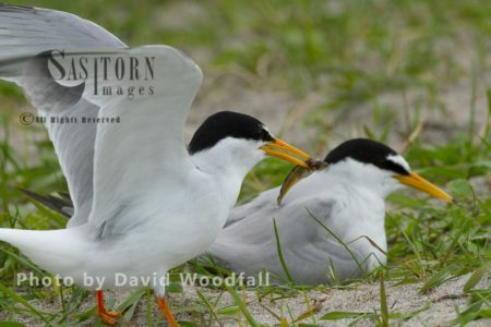 Little Terns (Sterna Albifrons) Male Landing With Fish For Chick, Female Brooding (sitting On Chick And Eggs), On Cultivated Machair, Berneray, North Uist