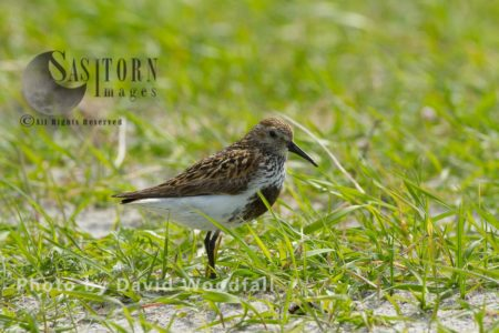Breeding Plumage Dunlin (Calidris Alpina) In Black Oat Cultivated Strip On Machair, Berneray, North Uist, Outer Hebrides