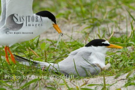 Little Terns (Sterna Albifrons) Male With Sea Eel For Chick, Female Brooding (sitting On Chick And Eggs), On Cultivated Machair, Berneray, North Uist