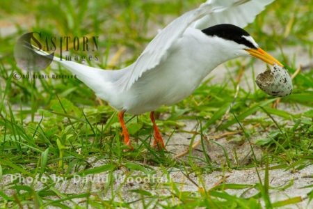 Little Tern (Sterna Albifrons) Taking Off With Newly Hatched Egg Shell Away From Nest To Draw Attention Away From Nest From Predators, Berneray, North Uist, Outer Hebrides