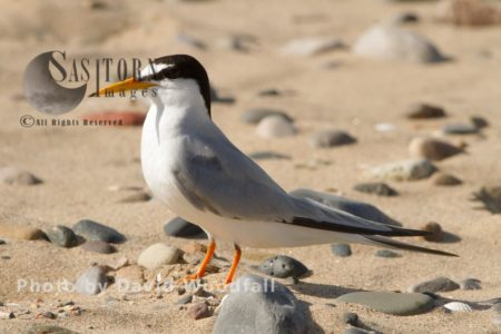 Little Tern (Sterna Albifrons), Berneray, North Uist, Outer Hebrides, Scotland