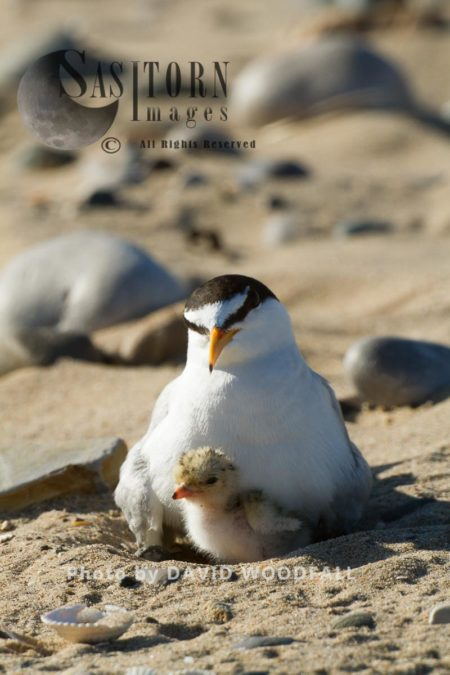 Little Terns (Sterna Albifrons) Female With Newly Hatched Chick, Berneray, North Uist, Outer Hebrides, Scotland.