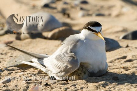 Little Terns (Sterna Albifrons) Female Brooding Newly Hatched Chick, Berneray, North Uist, Outer Hebrides, Scotland.