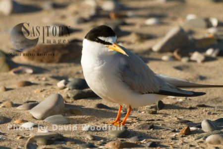 Little Terns (Sterna Albifrons) Berneray, North Uist, Outer Hebrides, Scotland.