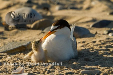 Little Terns (Sterna Albifrons) Female With Hungry Newly Hatched Chick, Berneray, North Uist, Outer Hebrides, Scotland.
