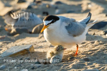 Little Terns (Sterna Albifrons) Female At Nest With Newly Hatched Chick, Berneray, North Uist, Outer Hebrides, Scotland.