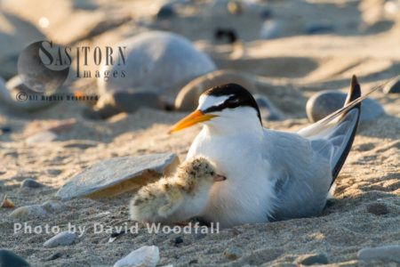Little Terns (Sterna Albifrons) Female Brooding With Newly Hatched Chick, Berneray, North Uist, Outer Hebrides, Scotland.