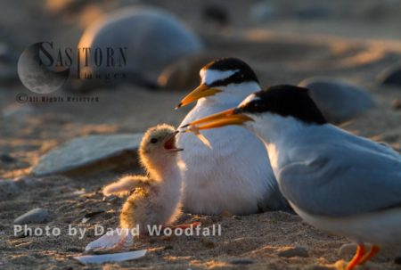 Little Terns (Sterna Albifrons) Male With Sand Eel For Their Newly Hatched Chick, Female Brooding, Berneray, North Uist, Outer Hebrides, Scotland