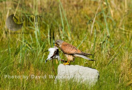 Male Kestral (Falco Tinnunculus) With Its Prey, Ringed Plover, Berneray, North Uist, Outer Hebrides, Scotland
