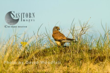 Male Kestral (Falco Tinnunculus) In Sand Dunes, Berneray, North Uist, Outer Hebrides