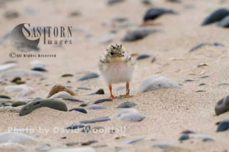 Little Tern Chick (Sterna Albifrons) Four Days After Hatching, Waiting For Parents To Feed It With Sand Eels And Small Fish. Berneray, North Uist, Outer Hebrides