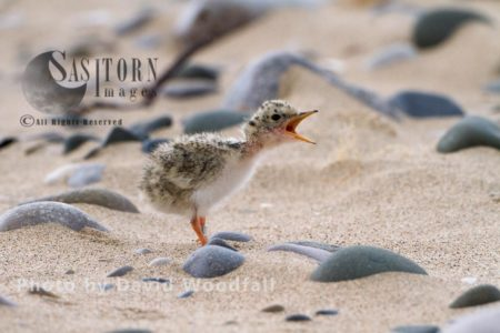 Little Tern Chick (Sterna Albifrons) Four Days After Hatching, Calling For Parents To Feed, Berneray, North Uist, Outer Hebrides