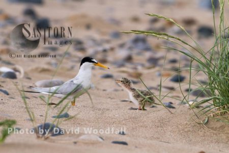 Emerging From Couch Grass (Agropyron Repens) Where Little Tern Chick (Sterna Albifrons) Sheltering From Predators To Greet Mum, Berneray, North Uist, Outer Hebrides, Scotland