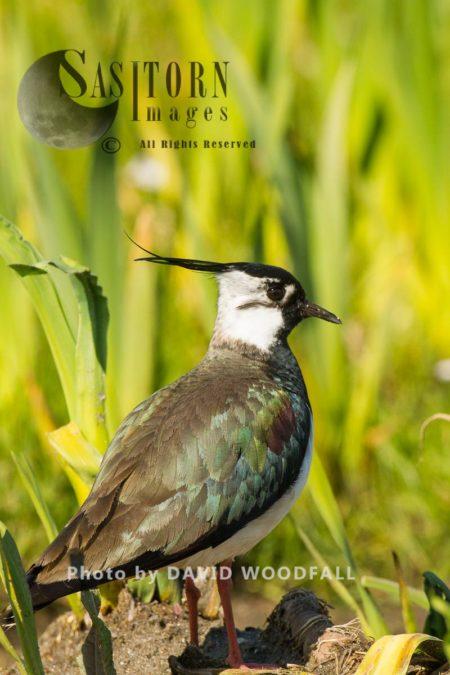 Lapwing (Vanellus Vanellus) In Machair Marsh, Threatened Species Of Wader, Berneray, North Uist, Outer Hebrides