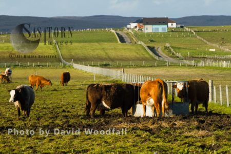Mixed Cattle At Feed Station On Croft (background), Berneray, North Uist, Outer Hebrides