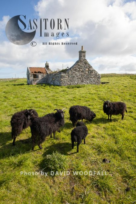 Hebridean Sheep And Abandoned Croft, Hardy Sheep Capable Of Eating Rough Pasture, Often Used By Conservation Groups To Maintain Short Sward