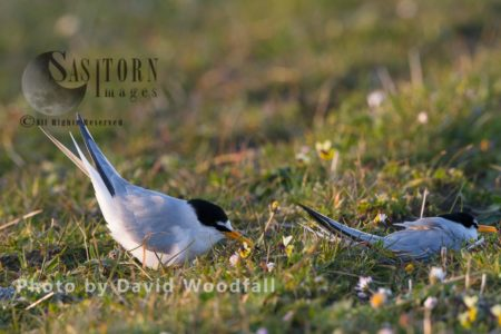 Little Terns (Sterna Albifrons) Amongst Flowering Machair Plants, Berneray, North Uist, Outer Hebrides