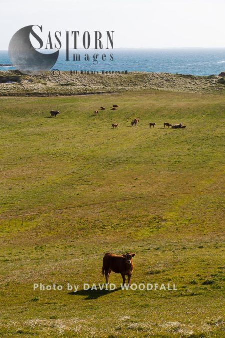 Cattle Grazing Machair, Important Site For Breeding Little And Arctic Terns, Berneray, North Uist, Outer Hebrides