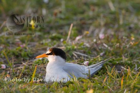 Little Tern (Sterna Albifrons) Female In Nest Brooding, Amongst Flowering Machair Plants, Berneray, North Uist, Outer Hebrides