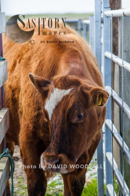 Limousin / Mixed Breed Cow Entering Pound To Have Its Ears Tagged. Part Of Herd To Manage Balranald Nature Reserve. Berneray, North Uist