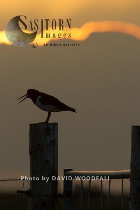 Oystercatcher (Haematopus Ostralaegus) Calling At Sunset On Gate Post In Machir. Berneray, North Uist, Outer Hebrides