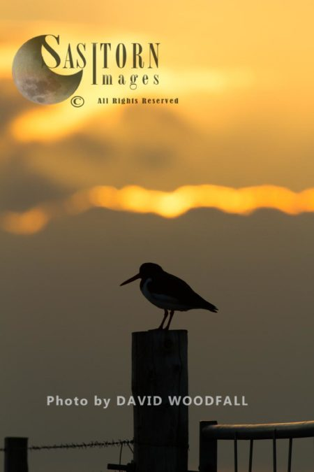 Oystercatcher (Haematopus Ostralaegus) At Sunset On Gate Post In Machir. Berneray, North Uist, Outer Hebrides