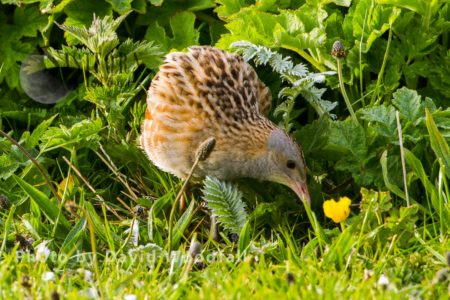 Corncrake (Crex Crex) Feeding At Dawn On Machair. Berneray, North Uist, Outer Hebrides