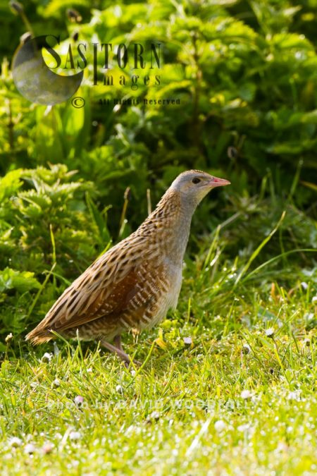 Corncrake (Crex Crex) On Machair, Berneray, North Uist, Outer Hebrides