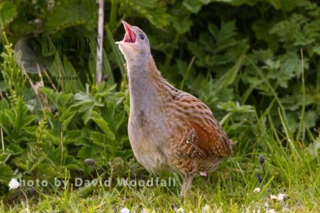 Corncrake (Crex Crex) Calling At Dawn On Machair. Berneray, North Uist, Outer Hebrides