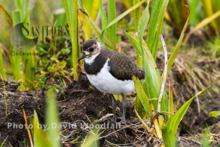 Young Lapwing (Vanellus Vanellus) Chick Walking Through Marsh, Yellow Flag Iris In Machair, Berneray, North Uist, Outer Hebrides