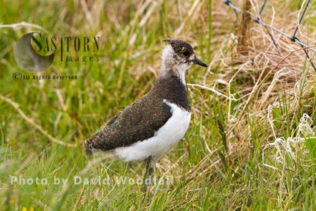 Young Lapwing (Vanellus Vanellus) Chick Walking Through Machair Grassland In Western Isles. Berneray, North Uist, Outer Hebrides