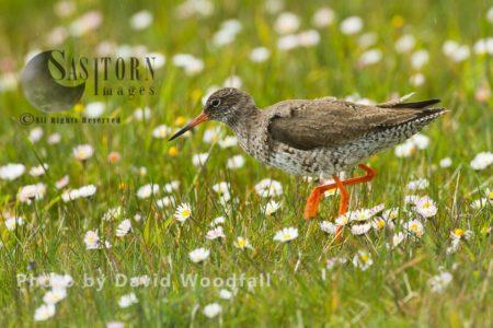 Redshank (Tringa Totanus) In Machair Amongst Daisies, Berneray, North Uist, Outer Hebrides