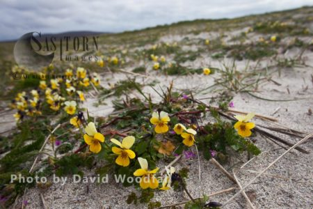 Seaside Pansy (Viola Tricolorssb Curtisii) Growing On Cultivated Machair. Berneray, North Uist, Outer Hebrides