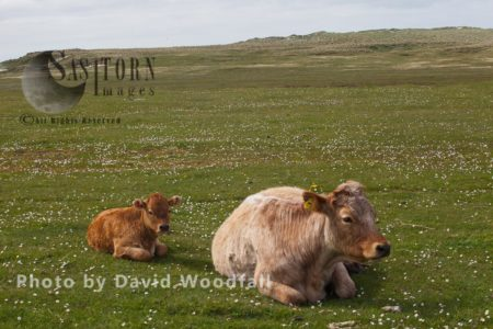 Mixed Breed Cow With Limousin Calf On Machair, Berneray, North Uist, Outer Hebrides