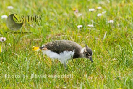 Young Lapwing (Vanellus Vanellus) In Flowering Machair, Part Of Croft Managed Machair, Berneray, North Uist, Outer Hebrides