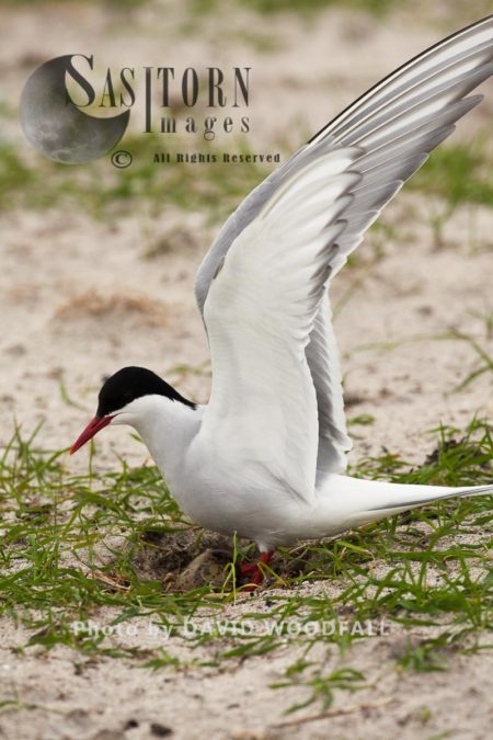 Arctic Tern (Sterna Paradisaea) At Nest In Cultivated Machair, Berneray, North Uist, Outer Hebrides