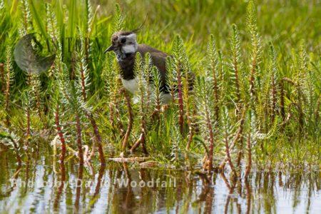 Lapwing (Vanellus Vanellus) In Machair Marsh, Threatened Species Of Wader. Berneray, North Uist, Outer Hebrides