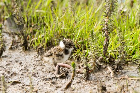 Young Lapwing (Vanellus Vanellus) In Marsh Within Machair, Part Of Croft Managed Machair, Berneray, North Uist, Outer Hebrides