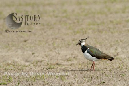 Lapwing (Vanellus Vanellus) In Cultivated Machair ,with Black Oates, Berneray, North Uist, Outer Hebrides